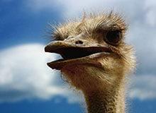 Есть ли у страуса голос?