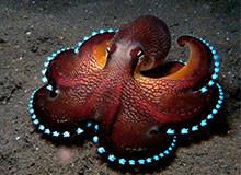 Чем питаются осьминоги?