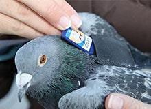 Почему голубям доверяют переносить почту?