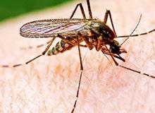 Какие болезни переносят комары?