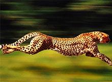 Кто из зверей-бегунов самый быстрый?