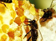 Почему пчелы живут в ульях?