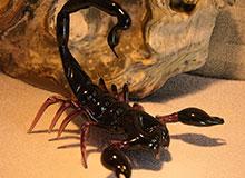 Может ли скорпион ужалить сам себя?