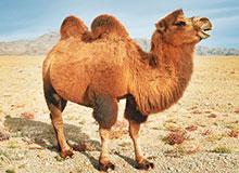 Хранят ли верблюды воду в своих горбах?