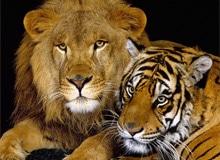 Кто сильнее — лев или тигр?