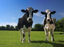 Почему коровы дважды пережевывают пищу?