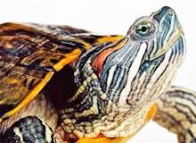 Где живет амазонская черепаха?
