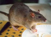 Чем опасны крысы?