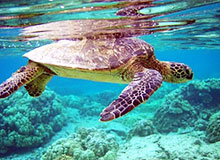 Чем отличается морская черепаха от обыкновенной?