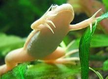Как лягушки дышат под водой на зимовке?