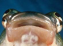 У какой рыбы четыре глаза?