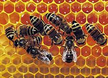 Для чего пчелы делают мед?