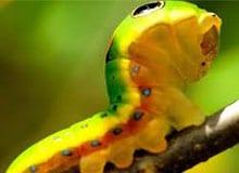 Как гусеница становится бабочкой?