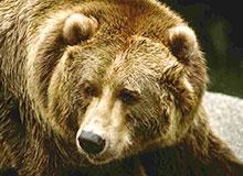 Чем питается медведь гризли?