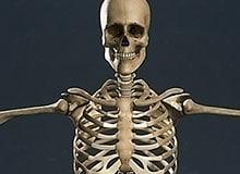 Из каких костей состоит человеческий скелет?