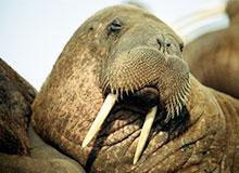 Почему моржи не мерзнут?