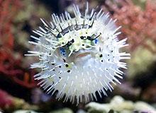 Морской дикобраз: рыба или животное?