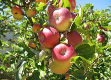 Сколько лет яблоне?