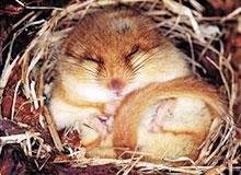 Почему животные впадают в зимнюю спячку?