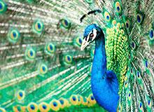 Почему у самцов птиц окраска ярче, чем у самок?