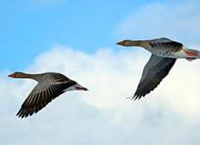 Почему гуси летят строем?
