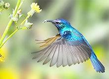Могут ли колибри висеть в воздухе?