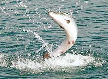 Почему при нересте лосось плывет вверх по течению?