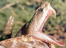 Какие змеи ядовитые?
