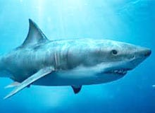 Ест ли акула людей?