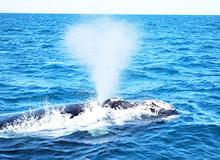 Почему у кита бьет фонтан?