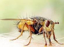 Сколько существует видов мух?