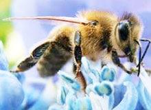 Как общаются пчелы?