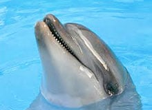 Может ли дельфин разговаривать?