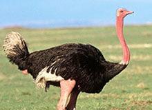 Прячет ли страус свою голову в песок?