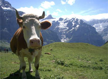 Когда начали доить коров?