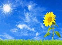 Почему растения поворачиваются к солнцу?
