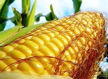 Для чего у кукурузы шелковая прядь?