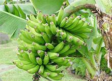 Как растет банановое дерево?