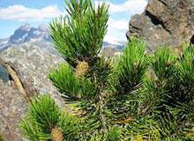 Почему сосна — вечнозеленое растение?