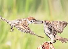 Зачем птицам нужно пение?