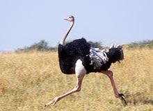 Почему страус не может летать?