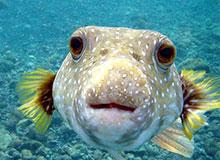 Как рыбы нюхают?