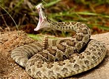 Почему гремучая змея ядовита?