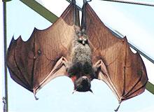 Как стало известно, что у летучих мышей есть локатор?