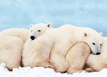 Впадают ли белые медведи в зимнюю спячку?