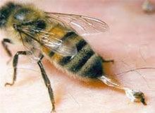 Почему пчелы жалятся?