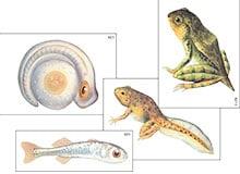 Как лягушки выводятся из икры?