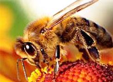 Почему пчелы танцуют?