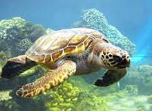 Как черепаха дышит под водой?