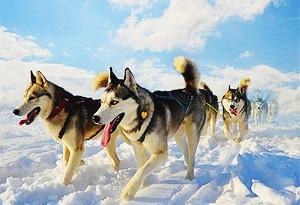 Ездовые собаки хаски состязание